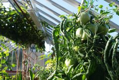 Green tomatoes grow on vines Stock Photo