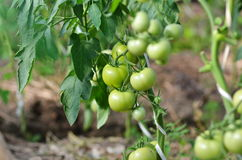 Green  tomatoes growing on a branch in a greenhouse. Green natural tomatoes growing on a branch in a greenhouse Royalty Free Stock Photography