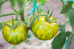 Green tomatoes growing on branch Royalty Free Stock Photo