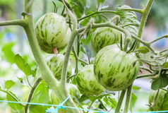 Green tomatoes growing on branch royalty free stock photos