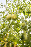 Green tomatoes growing in the garden Stock Photo