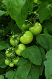 Green tomatoes grown in a greenhouse Royalty Free Stock Photo