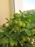 Green tomatoes grown at home stock photos
