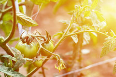 Green tomatoes grown in the village on a bed. The concept of home-growed meal and food producers.  stock photography