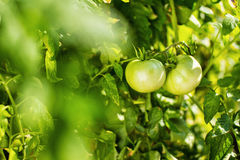 Green tomatoes hang on a branch Stock Photo