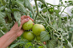 Green Tomatoes. Harvesting Green Tomatoes in a Green House Royalty Free Stock Image