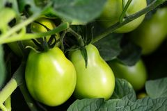 Free Green Tomatoes In A Vegetable Garden. Farming. Vegetable Garden Background. Closeup Royalty Free Stock Image - 125429886