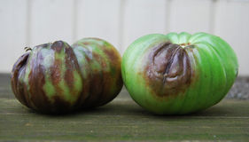 Green tomatoes, infected with late bloom. On a wooden table Stock Image