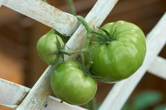 Green tomatoes Lycopersicon esculentum Mill. Tomatoes help to nourish the skin, bright, not dry, anti-oxidants that help reduce. And slow down the aging process royalty free stock photo