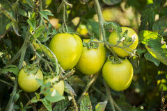 Green Tomatoes in a organic garden Royalty Free Stock Image