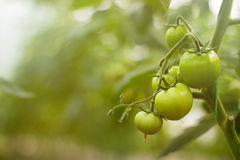Green tomatoes plantation. Tomato plants in greenhouse. Royalty Free Stock Image