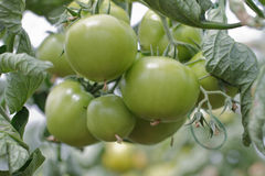 Green Tomatoes. Ripening in a Greenhouse Royalty Free Stock Photography