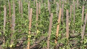 Green tomatoes on stakes stock footage