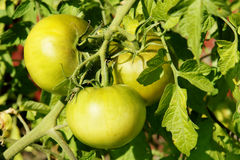 Green tomatoes in the sun Royalty Free Stock Image