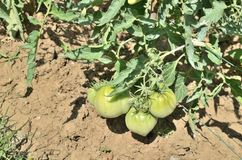 Green tomatoes on their stalk. Green, unripe tomatoes on their stalk in a garden Royalty Free Stock Image