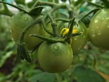 Green tomatoes. Unripe green tomatoes after the rain royalty free stock photos