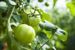 Green tomatoes. In a vegetable garden Stock Photos