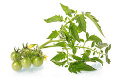 Green tomatoes vegetables with blossom isolated Stock Photo