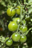 Green tomatoes on a vine. Royalty Free Stock Photo
