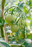 Green tomatoes on the vine. Green tomatoes growing on the branches royalty free stock photo