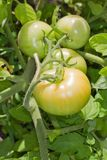 Green Tomatoes on the Vine Stock Photography