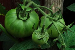 Green tomatoes on vine Stock Photography