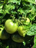 Green Tomatoes. On vine Royalty Free Stock Images