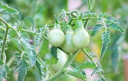 Green Tomatoes on the Vine Royalty Free Stock Photo