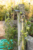 Green Tomatoes on a vine Stock Images