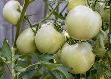 Green tomatoes on the vine Stock Photos