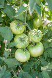Green tomatoes on the vine growing in the garden. stock image