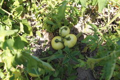 Green tomatoes on the vine Royalty Free Stock Image