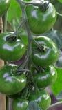 Green tomatos Stock Images