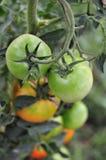 Green Tomatos Royalty Free Stock Photography