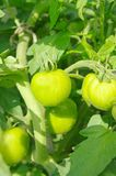 A green tomatos in a garden Stock Photos