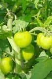A green tomatos in a garden Stock Photos