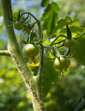 Green tomatos growing Royalty Free Stock Photography