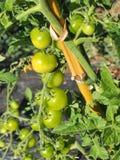 Green tomatos Royalty Free Stock Photos