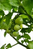 Green Tomatos on Vine Royalty Free Stock Image