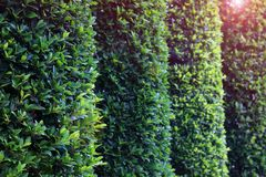 Green topiary hedging wall in the garden with copy space. Green topiary hedging wall with copy space royalty free stock images