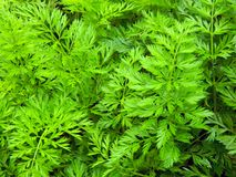 Green tops of carrots in the garden Stock Photo