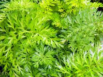 Green tops of carrots in the garden Royalty Free Stock Image