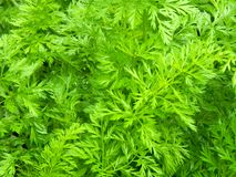 Green tops of carrots in the garden Stock Image