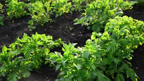 Green tops of potatoes on the field stock footage