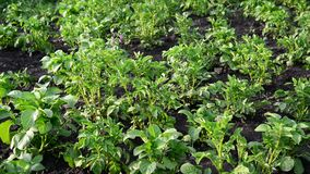 Green tops of potatoes on the field stock video footage