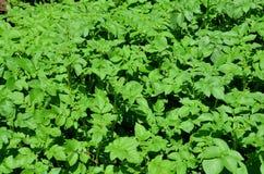 Green tops of potatoes. Royalty Free Stock Photos