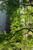 Green Toronto. Photo of green tree against skyscraper, in the financial district, Toronto, Canada Royalty Free Stock Images