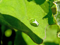 Green Tortoise Beetle royalty free stock photos