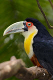 Green toucan in Brazil Stock Photo