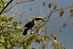 Green Toucan in Osa Peninsula, Costa Rica.  Royalty Free Stock Photography